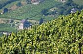 Vineyards near Freyburg, Saale-Unstrut, Germany