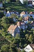 Vineyard 'Stuttgarter Mönchhalde', Stuttgart, Württemberg, Germany
