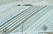 Wintry landscape of vines near Leistadt, Palatinate