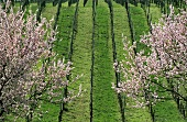 Rows of vines with flowering almond trees, Siebeldingen, Palatinate