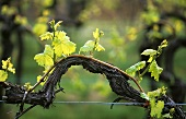 Vine shoot and young leaves in spring