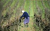Woman tying in fruiting rods of vines in the Halbbogen system
