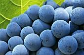 Portugieser grapes with vine leaf