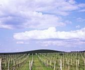 Vineyards of Château Béla, Slovakia