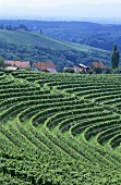 Vineyards near Ormoz, Slovenia