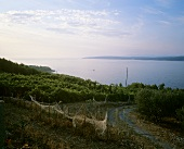 Evening in vineyards near Zavala, island of Hvar, Croatia