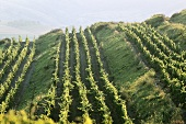 Grapevines growing on terraces in Romania