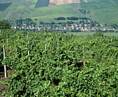 Vines belonging to Jidvei Cellars, Romania