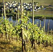 Single-stem training in a steep location near Leiwen, Mosel, DE