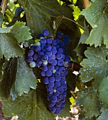 Aglianico grapes, Campania, Italy