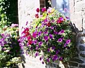 Trailing petunias in window box