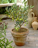 Small olive tree in terracotta pot
