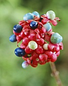 Glory bower fruits (Clerodendrum)
