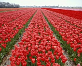 Large tulip field