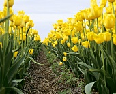 View into a field of yellow tulips