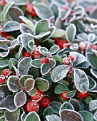 Checkerberry (Gaultheria procumbens)