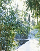 Snow-covered bamboo in garden