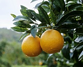 Two ripe oranges on the tree