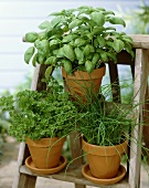 Parsley, basil and chives in flowerpots
