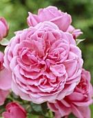 A 'Berleburg' rose