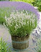 Lavender, variety 'Coconut Ice' in tub