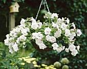 White trailing petunias (Petunia 'Fanfare')