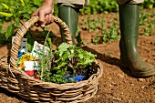 Person hält Korb mit Samen und Jungpflanzen
