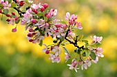 A sprig of wild apple blossom