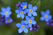 Forget-me-not (close-up)
