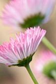A daisy (close-up)