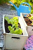 Lettuce seedlings in wooden planting boxes