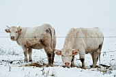 Charolais cattle in snow