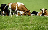 Several cows in a pasture