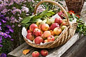 Basket of freshly picked apples