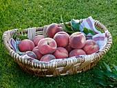 Pfirsiche, Sorte Kernechter vom Vorgebirge, im Korb auf Wiese