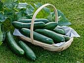 Fresh cucumbers (variety 'Konsa') in basket on grass