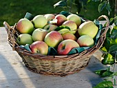 Freshly picked apples in wicker basket on garden table