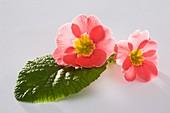 Frühlingsprimel (Primula vulgaris syn. acaulis)