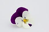 Blüten von Hornveilchen (Viola cornuta 'Callisto Purple & White'),