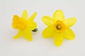 Narzissen (Narcissus 'Tete a Tete'), einzelne Blüten