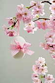 Ornamental cherry (Prunus sargentii 'Accolade') with Easter egg