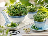 Radish sprouts, cress and mung bean sprouts in small bowls