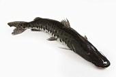 Brazilian pintado catfish