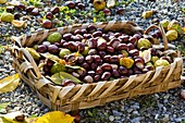 Chestnuts in shallow basket