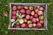 Box of organic apples on grass (overhead view)
