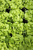 Lettuces in vegetable bed (overhead view)