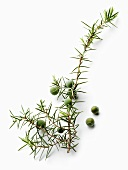 Juniper sprig with berries