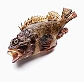 Fresh scorpionfish