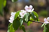 Quince blossom on branch