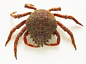 Spider crab on white background
